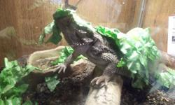 I have an approx. 2yr old beardie that unfortunately needs to be re-home.   You must have knowledge about them and their needs in order to adopt.  Maxi will come with her tank (roughly 60gallon) lid, , heat rock, light fixtures, dishes, vitamins and