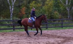 """1999 16hh bay WB cross gelding for sale. Excellent horse for advanced beginners and up for jumping and dressage. This boy has been to many shows and is a well mannered guy ( 3' - 3'3""""). Easy to handle, bridle, saddle, clip, groom, tie, vet, farrier,"""