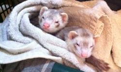 Due to unforeseen circumstances I am forced to rehome my beloved pet ferrets. It breaks my heart to let them go, so I will be looking for a perfect home for them. There are 2 Marshalls ferrets - one male and one female. They are unrelated. The male is
