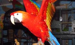 This bird is 4.5 months old and is weaned now.  He is very healthy and active.  He knows how to step up and likes to be petted. This bird is fine with other macaws but not suitable to play with smaller birds.  If you would like the bird with a new cage