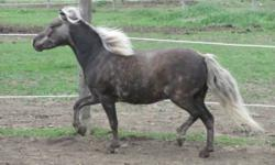 Beautiful miniature mare for sale  !!!                  Littlefoots SweetGrass   sweetgrass is a beautiful silver dappled mare how has the sweetist personality, very loveable is very  layed back and has show for many years and is great with kids.