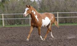 Buttons is a gorgeous five year old chesnut overo mare, 14.2hh. She is nicely built with a pretty face, big hip and good legs. Very cute mover She is extremely friendly, Not spooky and loves people. She is easy to catch, lead, tie, load in a trailer. She