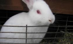 Hi, I have 6 beautiful rabbits for sale. 2 black- 1 boy and 1 girl 4 white- 3 girls 1 boy They are half New Zealand White, half Flemish Giant.  12wks. old.  Great bloodlines, very tame. Would work great for breeding stock or a pet. :) They are bred for