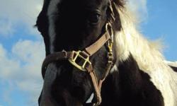 Zippos Treasure Jules ``Jules`` is a registered Paint horse filly . She is registered under APHA. She is 5 months old and is super smart . She is a black and white paint with beautiful markings . She already ties , crossties , bathes , trailers , and can