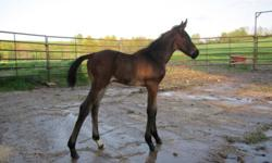 Crusoe is a well built Swedish Warmblood colt, born April 2011. Beautiful mover with floaty trot and an uphill canter. Will mature over 16.2hh. Can be registered and inspected with SWANA. Black Bay with a star and snip.Very flashy and in your pocket type