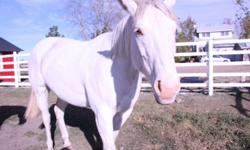 Sugar is a 7 year old registered quater horse paint but she is completely white with blue eyes. She is  broke and is a good horse to have around! I am selling her because I am too busy with school to ride and spend time with her. She is a great  horse and