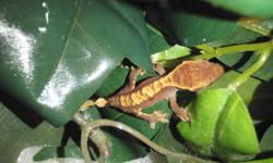 """ONLY 4  LEFT!!!  GET YOURS BEFORE THEY ARE GONE!!!  EASY TO CARE FOR AND A GREAT """"STARTER REPTILE""""  My 5 and 7 year old kids have great fun with them!!! Beautifully Colored Crested Gecko Hatchlings available.  $45 each.  Ranging from 3 months to just a"""