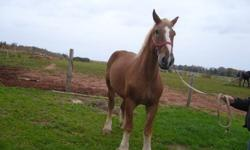 Good quiet Belgian gelding broke single and double easy to handle this horse never pulled ideal for sleigh rides or in the woods.