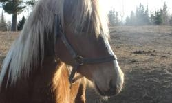 6 year old Belgin Quarter Horse Cross Mare 16 hands Good temperment Some training Good with other horses and animals Good with ferrier