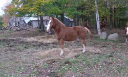 three horses for sale or trade the first picture is of a 7 year old he weighs 1325 pounds and is alittle over 15 hands asking 1200 dollars for him . the second picture is a 10 year old horse he weighs 1800 pounds and is 18 hands asking 1000 dollars for