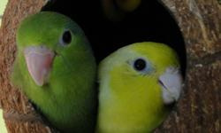"Perfect Gift for any age.  Beautiful Hand-Fed & Hand-Tame Baby Parrotlets These Hand-Fed birds become completely devoted companions who enjoy spending time with their owners. they can learn more then 10 - 15 words and can ""whistle""songs well. Parrotlets"