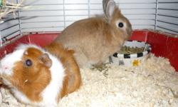 Harry and George are best friends and need a new home.They come with every thing they need (food, glass water bottle with float, food and treat dishes, hay rack, a bale of Timothy hay, wood chips. litter, vitamins,  owners guide to Guinea Pigs book and