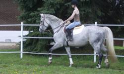 Sadly I have decided to sell this great mare. I am switching disciplines and I would hate to see her go to waste out in the field. She is a 10yr old 15.2hh grey appendix mare. w/t/c in a frame. has jumped up to 4feet. nice form over fences! has shown in