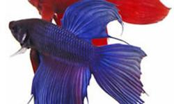Beautiful Betta fish in two colours available at whole sale price....Crown Betta fish is also available..please contact 416-823-4517.... www.geoponicsinc.com