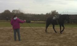 Beautiful, Black, Percheron/Thoroughbred for sale. Mare, 16.3++. Owner is moving to Kingston and is reducing the herd. Currently in training and doing well-W/T/C,over small X. Sweet, curious personality.