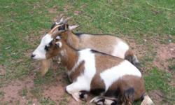 Billy goats and Rams for sale, prices starting from $200. Please call 604-351-2114 for more information, thank you