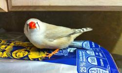 zebra finches. 1 male and 1 female about 6 months old now ready for a new home. Everything you will need is at the dollar store. Tamed, quiet and use to being around humans unlike store bought birds. No offence.. wont last. pick up only. Thanks for