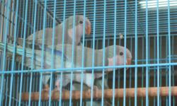 We have few Birds for sale: Blue Quaker breeding pair, proven and dna for $800.00 Blue Male and Green Female Quaker breeding pair, proven for $600.00 One Male Jenday Conure proven for $399.99 We have few Indian Ringnecks, 6 months semi-tame, banded,