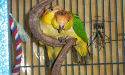Congo, Camaroon, Superfriendly and spoonfed - $1350.00 each with DNA, With new Cage, toys and food Congos and Camaroons are  $1600.00 each. Many babies comming up in the New Year! Have Timneh greys on eggs too. Babies are banded and wings and nails will