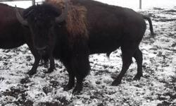 Buy your own buffalo and get it butchered yourself! Very healthy meat from our 2,5 year old bulls, grass, hay and grainfed. Call or email for details.