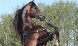 Very beautiful, incredible mover! This filly is sired by Legion of Honour, Regional and Canadian Breeders Champion stallion! GF Forever Magic+. (pictured) This gal has type, is Tall and upright, with a HUGE hip and eyes. She has an amazing length of