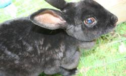 I have a black Doe mini rex bunnie for sale. Would make an excellent pet for any family. Email me with any questions please.