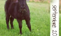 I'm selling my all black filly , mother is 39inches and her dad is a 34inches mini horse so she will be a cute small pony. I have the parents on place, I can send you some pictures of them if you want to . She's born on 2011 June 19th (fathers day ) I'm