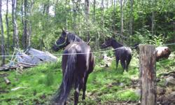 Hello,  I have for sale a black Quarter Horse, Canadian cross filly. Mother is half Canadian, half Quarter (14.2hh) and sire is a registered Quarter horse named Chums black chip15+hh). Both parents are black. Should mature 14.2hh. This little girl is