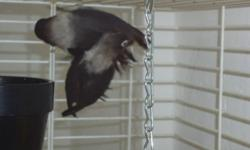Black Masked Lovebirds for sale for $200 couple Young healthy black masked lovebird couple for sale Cages available for $20 and up If interested please call Joe or Stephanie at 905 450 6590 or 416 648 1961