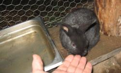 Five black healthy New Zealand,bunnies , looking for new home.