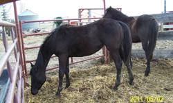 Liquorice is a long yearling, she was born last may.  She is halter broke and easy to work with.  She is current on worming but will need a trim.  She has been out on pasture doing a whole lot of nothing since June this year.  She is very friendly as easy