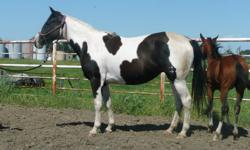 Peps Calicolena APHA #937672.  This mare is coming 4 in the spring and is bred to Peppys Olena Smart (cutting bred tobiano paint stallion) for a 2012 foal.  Peps Calicolena is a nice mare that has already raised an exceptional foal in 2011.  She is cow