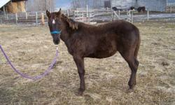 1 black weanling colt 6mths old halter trained The colt has white fetlocks on his back feet and a star He is out of a reg istered paint mare and a solid paint stallion  he has been wormed and vaccinated He will mature between 15 to 15.2hh He  would make a