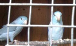 I am selling some of my breeding pairs of Blue and Green Parrotlets. They are all in good health and feathers They are ready to breed again   Some Proven and New pairs Pairs are have been together no less than 3 months   Proven pairs $150 for Blue $130