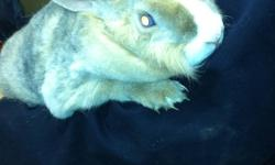 Beautiful blue eyed female bunny. Great disposition. About 1 year old. Part rex. Needs good home and more attention. Photos do not show eyes very well. She really is lovely.