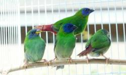 Lots of young blue faced parrot finches. These birds were hatched this year 2011. We can have unrelated pairs available. Frisky little birds and personally I like their song. Come and get them while they are still available.