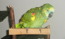 Amazon Parrot 1 year old. Very smart beautiful bird. Hand fed talking bird has a large vocabulary already.  Will sit on your shoulder and talk all day.  Loves a interactive enviroment.  519-733-4737