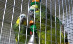 I have a breeding pair of blue fronted amazons. They are 5 years old. They are not tame. They will come with the cage, breeding box, toys and food. I am asking $1500.00 OBO. They have been together since babies. If interested please contact me by e-mail.
