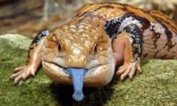 LOOKING FOR A BLUE TONGUE SKINK ....WILLING TO PAY $20 FOR IT