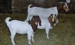 boer bucks for sale ages from 2 mths-7 mths father is register mothers are percentage call 345-2169 prices from 200-300.