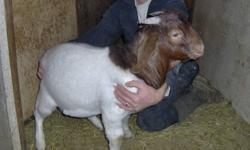 Three boer bucks for sale they are four months old asking 300.00 each call 519-345-2169.