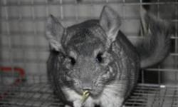 I am selling a pair of bonded Chinchillas the male is a white mosaic who is 3 years old and the female is a standard grey and is 2 yrs old. Both are very friendly and come from strong lineage, but have to go together. This price includes the cage water