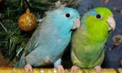 I have a male (green) and a female (blue) pacific parrotlets.  They come with a vision cage and vision nest box.  They are really bonded to each other so I will not seperate.  They are young under a year old.  Very small and very cute.  Not nosiey or