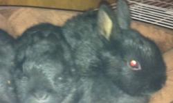 Hello Everyone!! Rebeccas Rabbit Rescue has some bunnies available for adoption! We have a boxing day special TODAY, the adoption is only $15!! This is only for TODAY! The Rabbits that are available are 2 polish baby dwarfs, 1 californian mix bun and 1