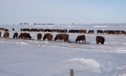 80 +/- bred Simmental, Sim X Red Angus Cows. Closed commercial herd. Bred Simmental to calve Mar 1st. Steer calves averaged 760 lbs. Oct 15th. Select heifer and bull calves available for viewing/sale as well.  Pasture available.    Due to interest in