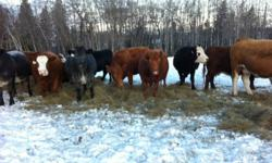 20 Breds, 50 cows. One brand, Simmental cross, bred for feb/march. Curran Amyotte Farm call dean for more info 747-2911 This ad was posted with the Kijiji Classifieds app.