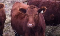 I have 3 bred heifers for sale. They are solid red, bred to a red angus bull, been preg checked and due to calve in April.
