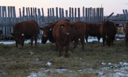 80 Black Heifers bred Black Angus Bred June 7th to Aug. 7th * Ivomeced, Full Vaccination program   25 Red Heifers bred Red Angus Bred June 7th to Aug. 7th *Ivomeced, Full Vaccination program