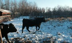 10 Angus Heifers, Bred to a black or red bull. Due to start calving in March 15.