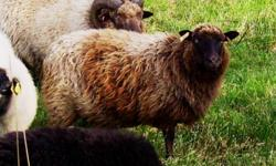 I have for sale a purebred Shetland ewe. She is aprox. 4 years old. She is bred by a purebred registered Shetland ram. Her color is morrit.   She is $150.00 I also have a Registered Shetland ram for sale in another kijiji ad for $250.00. If you buy both